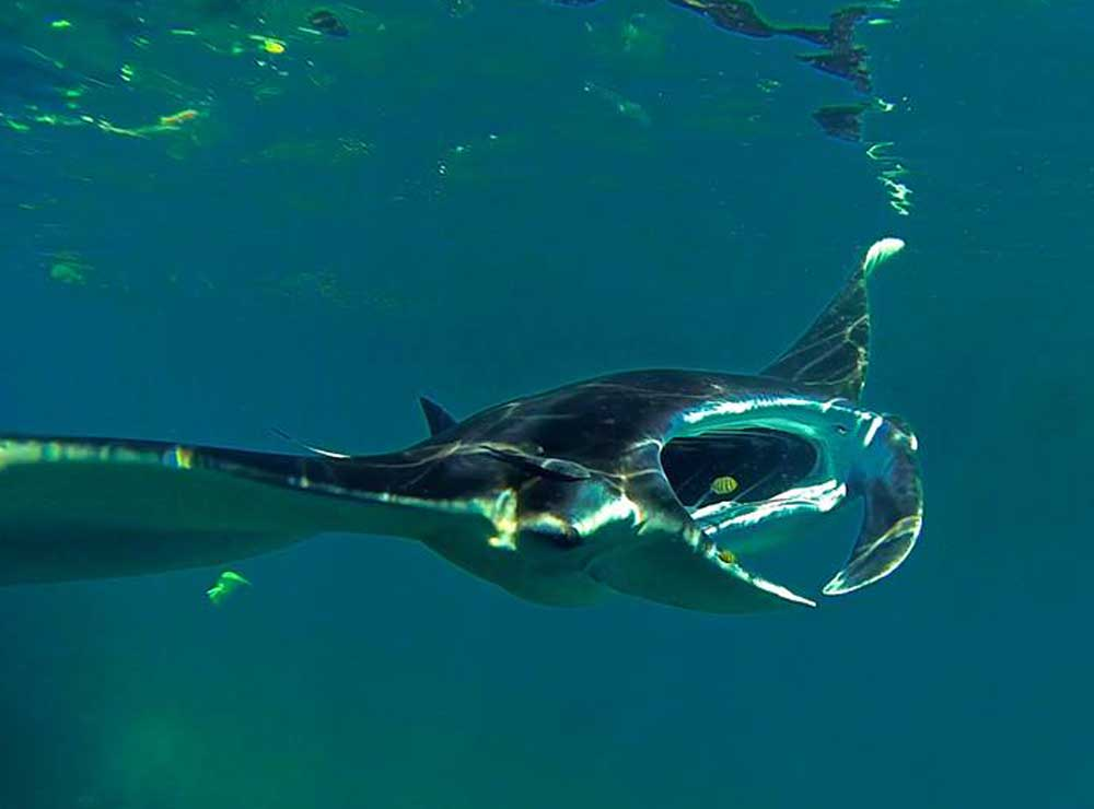 Manta ray seen diving at Lembongan